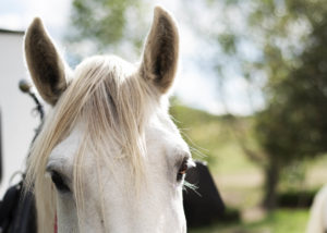 Close up of a white horse.