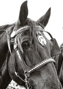 Close up of a black horse.