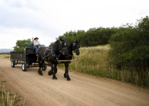 Two black horses pulling a carriage down a dirt road in Colorado.