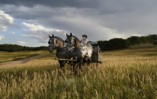 Two black horses pulling a carriage through a weat field near in Colorado.