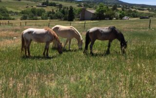 three horses eating in a field